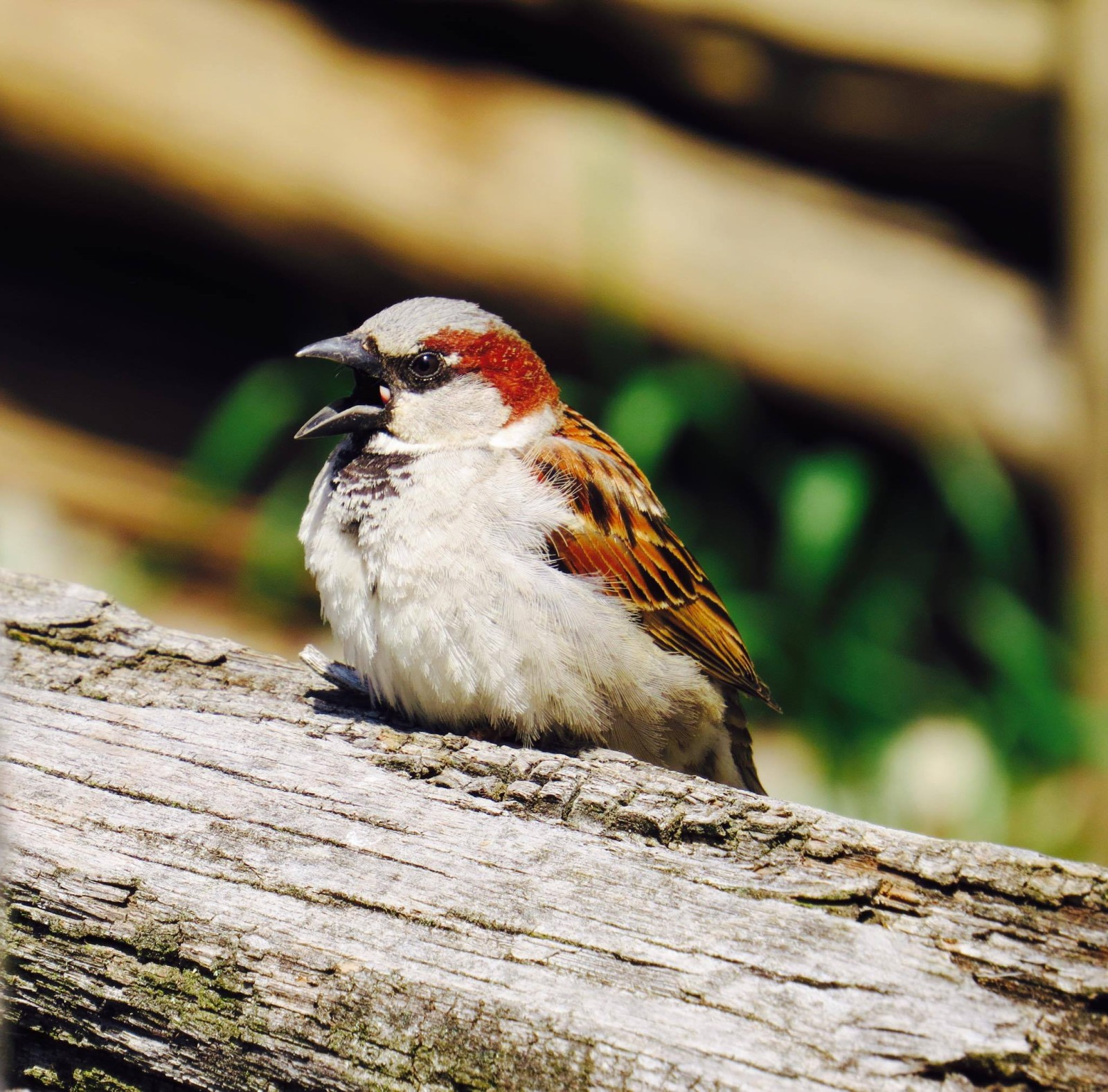 From: Tia Johns-Barcenas House sparrow, taken at Booker T. Washington National Monument. 4-11-16