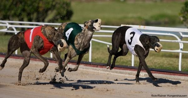 arizona-greyhounds1 arizona-greyhounds2 flickr:Rainer Hungershausen.jpg