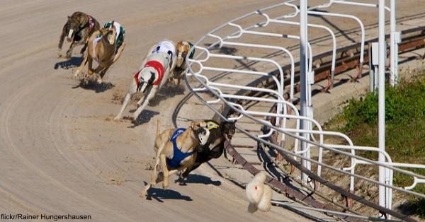 arizona-greyhounds1 flickr:Rainer Hungershausen