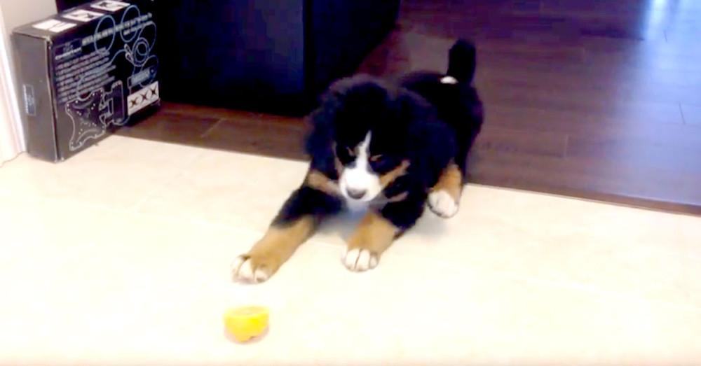 Savage Puppy Attack On A Defenseless Piece Of Fruit Is