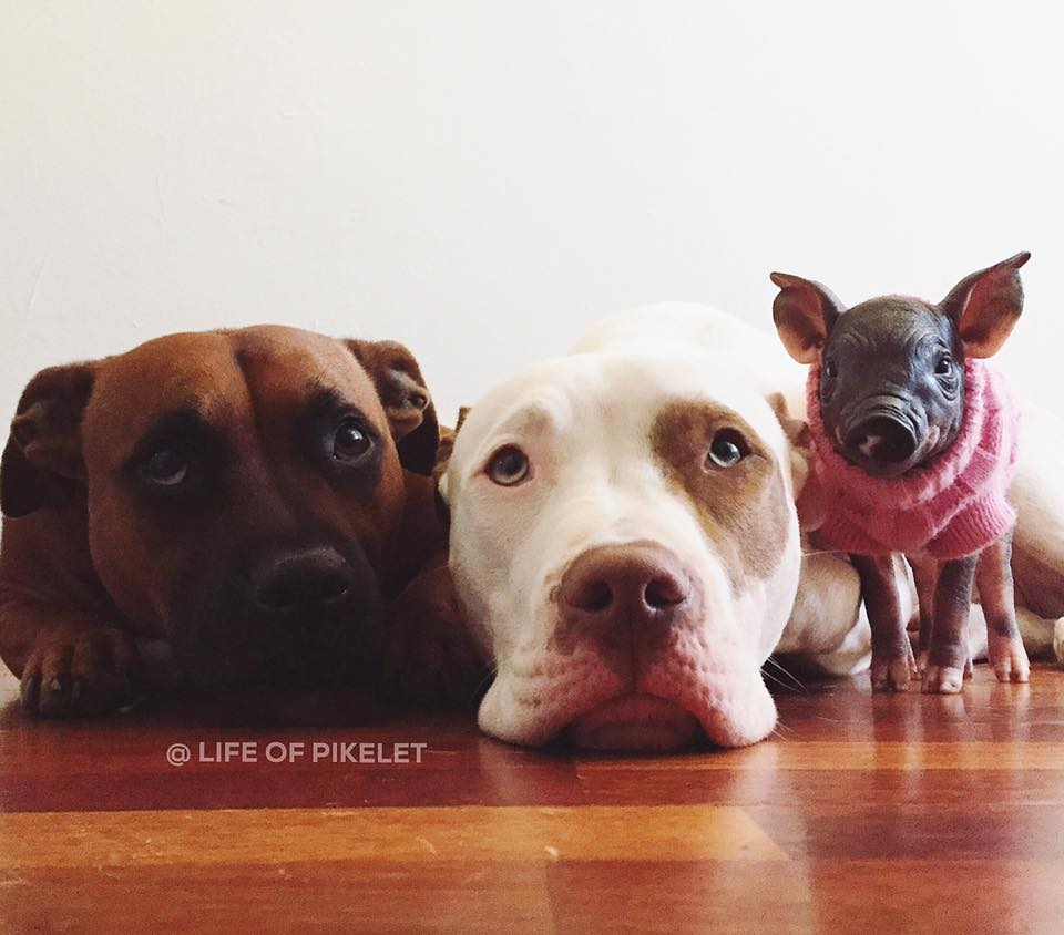 These Dogs Help Their Human Foster Different Animals