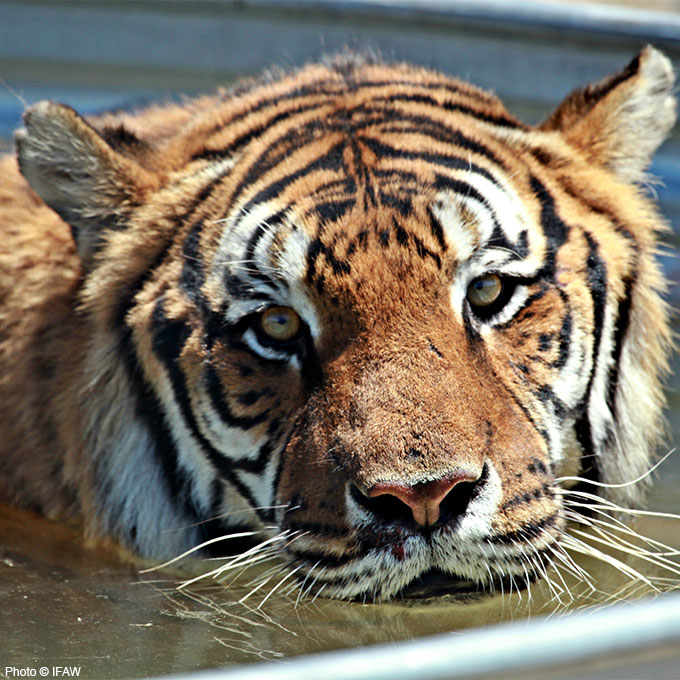 Tiger in captivity.