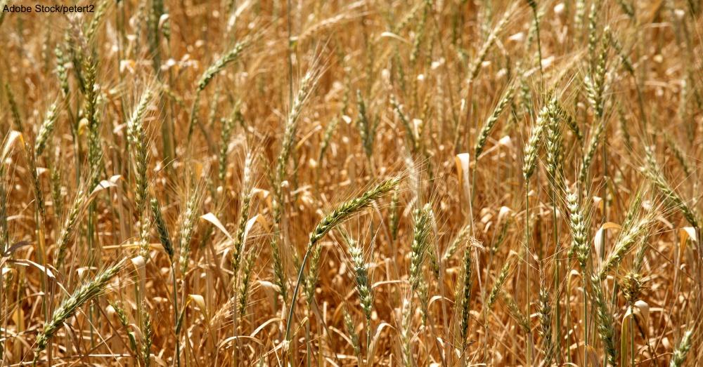 Wheat growing on a farm in the Swartland region South Africa