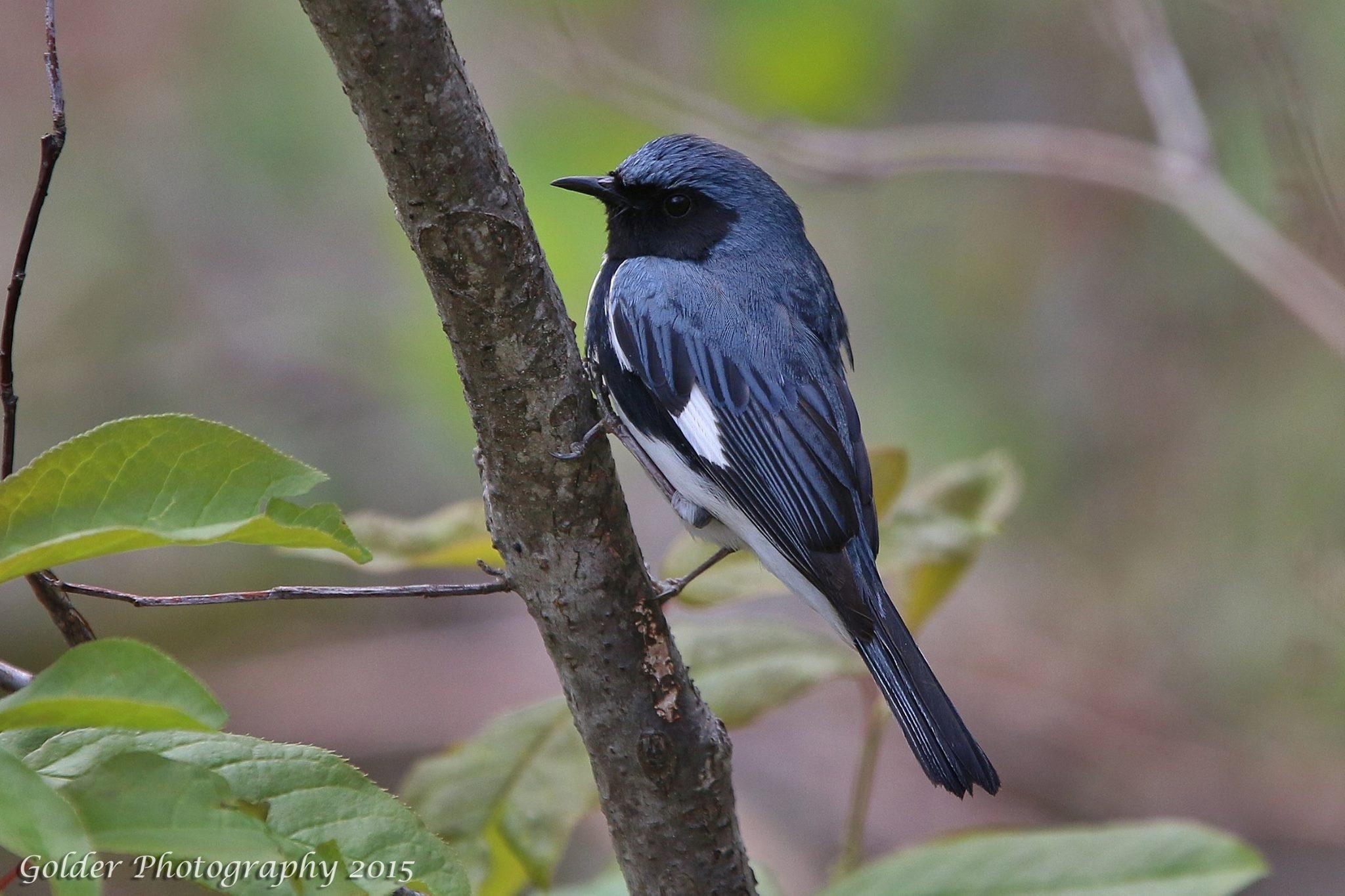 Golder Photography - Black-throated blue warbler- blue ridge parkway virgina jefferson national forest