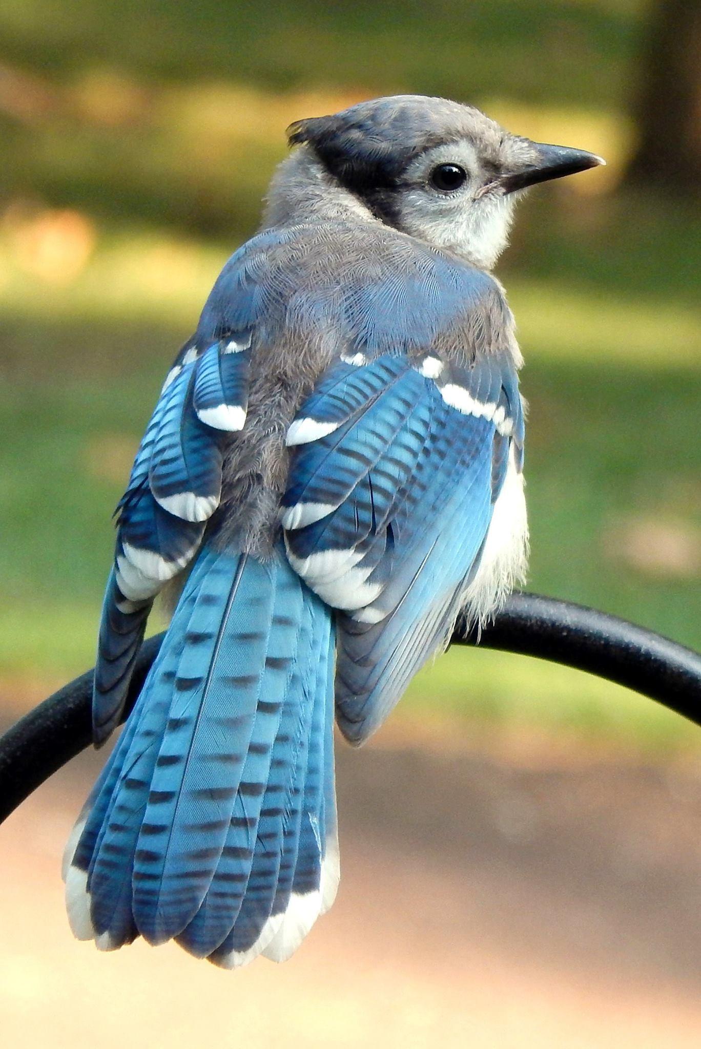Juvenile Blue Jay - Photo by Maureen Mitchell