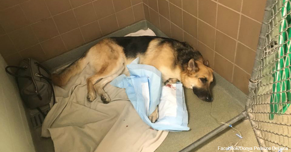 Newly Adopted German Shepherd Saves Girl From Rattlesnake by Taking Venomous Bites
