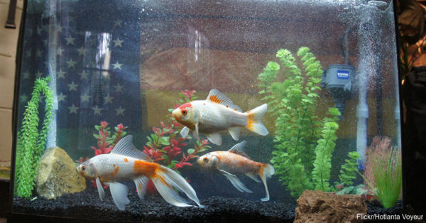 Size does matter ask a goldfish the animal rescue site for What fish can live with goldfish in a pond