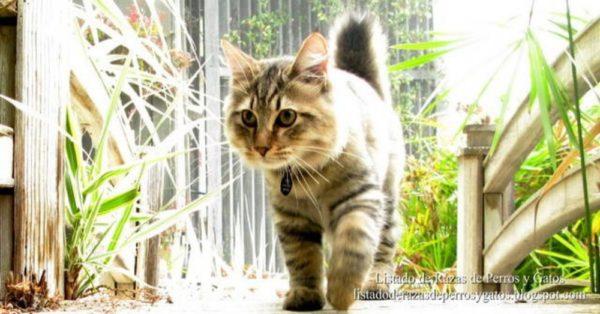 Gato Bobtail Americano (American Bobtail  cat) 003
