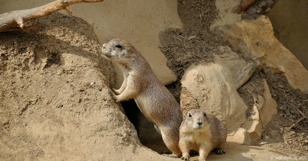 A prairie dog isnt a dog and other cool facts about these adorable prairie dogs are members of the squirrel family other family members include the chipmunks groundhogs marmots and woodchucks m4hsunfo