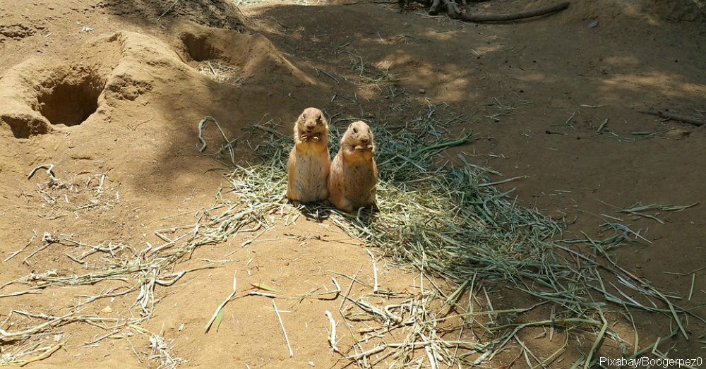 A prairie dog isnt a dog and other cool facts about these adorable prairie dogs greet other members of their coterie with a kiss this kiss is actually a way of identifying one another by touching teeth m4hsunfo