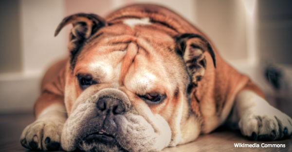 bulldog-breed1
