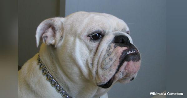 bulldog-breed2