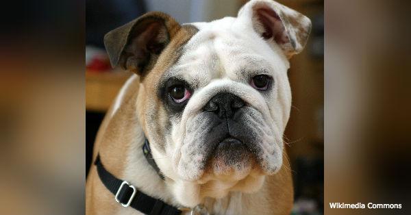 bulldog-breed3