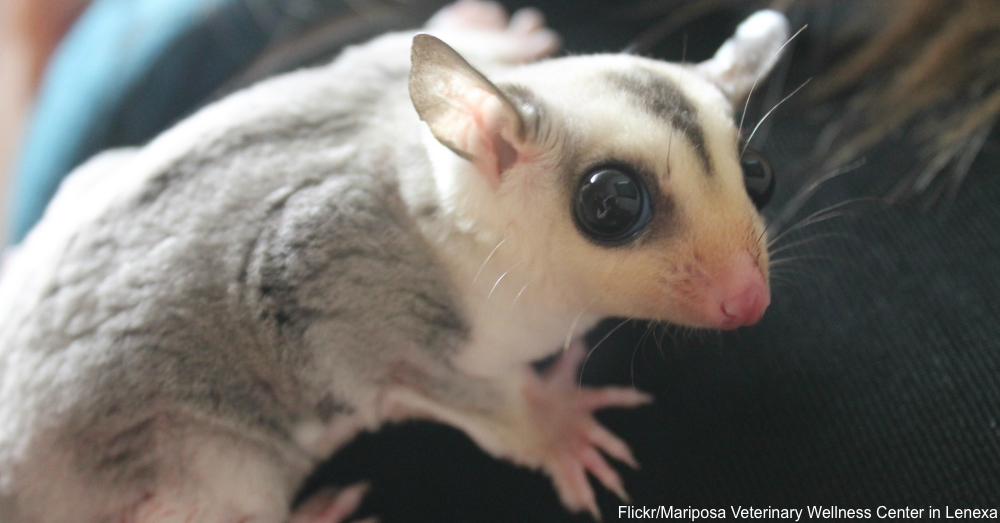 Essential Facts About Pet Sugar Gliders - thesprucepets.com