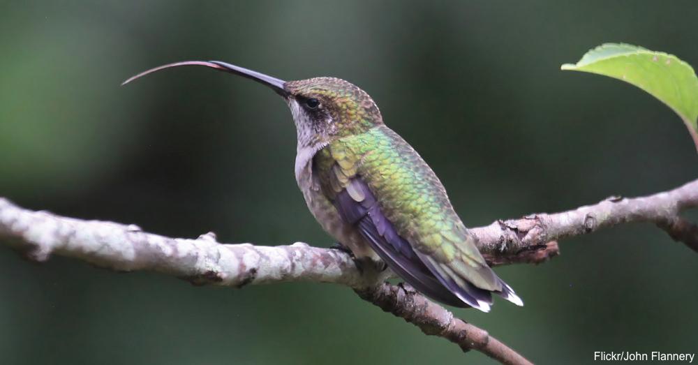 10 Tremendous Tidbits Regarding Hummingbirds | The Rainforest Site ...