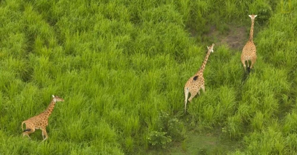 kordofan-giraffes1
