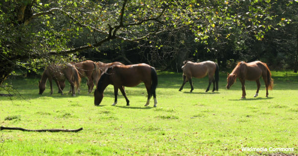 newforest-ponies1