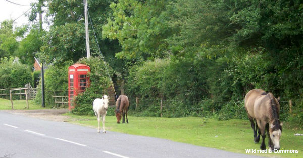 newforest-ponies3