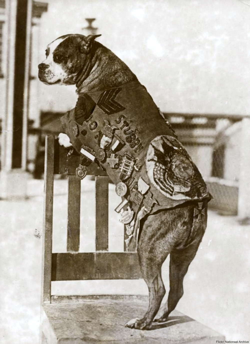 Sargeant Stubby the decorated WWI hero dog