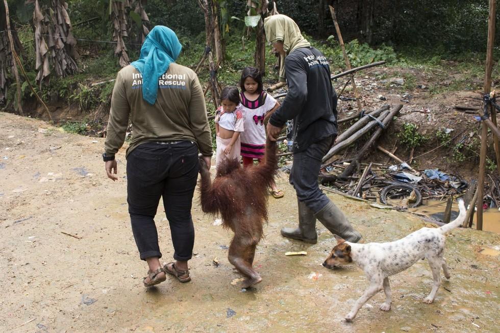Utat the orangutan