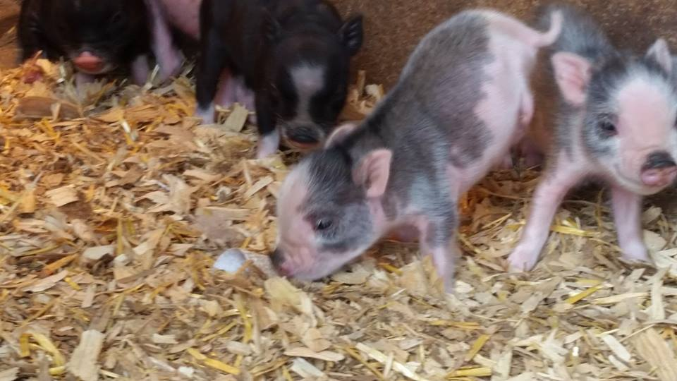 Facebook/miracle the minipig