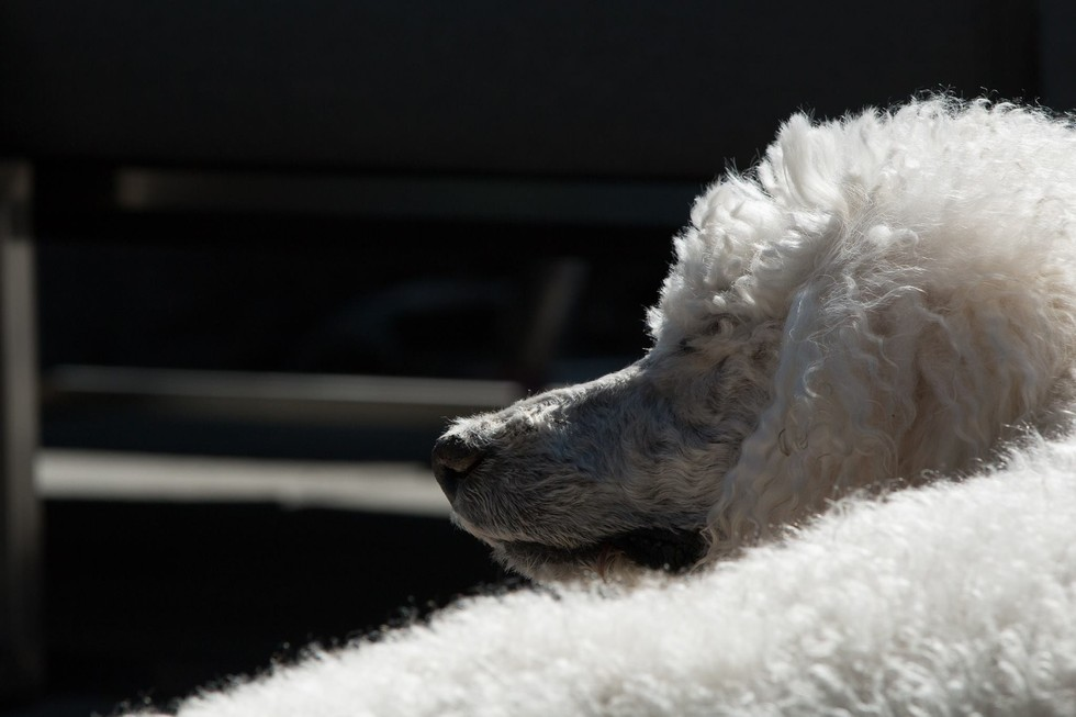 ROOT FOR POODLE MARGAUX
