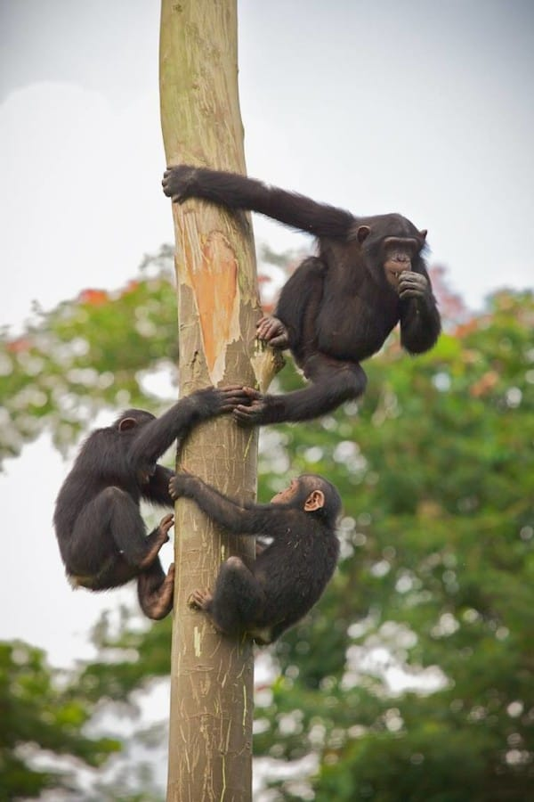 Photo credit: Ape Action Africa