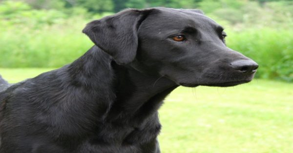 Labrador_Retriever_black_portrait_Flickr