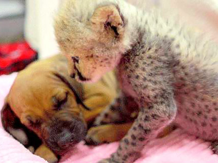 Cheetah Ruuxa and Rhodesian Ridgeback Raina cuddle as babies