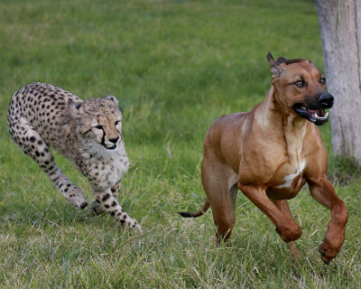 The cheetah and dog run with each other, at home playing in the San Diego Zoo habitat