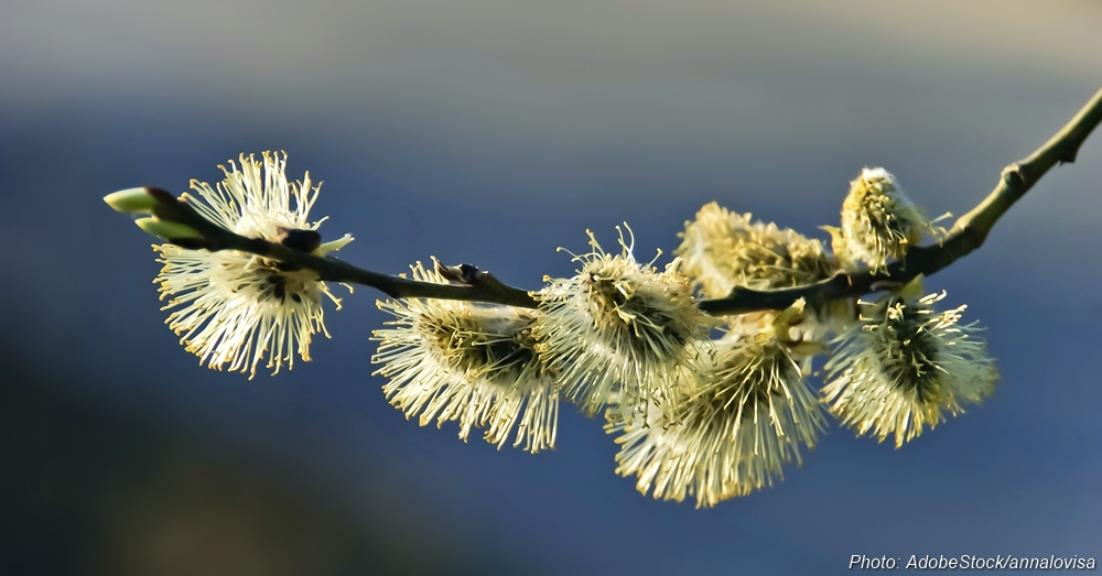 Willow bark was a source of pain relief medicine in ancient times. Aspirin is a relatively recent derivative.