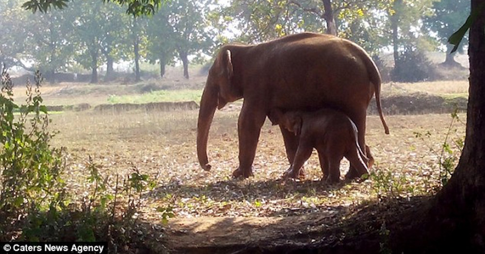 elephant duo walks free