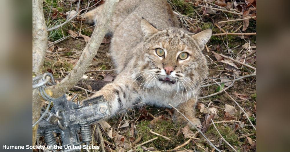 bobcat-hunt2