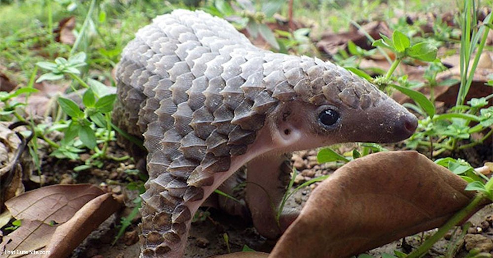 cute_baby_pangolin copy