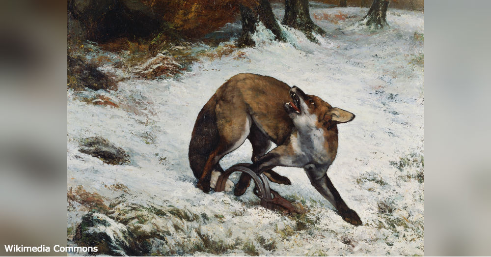 A painting of a fox with its leg caught in a steel jawed leg hold trap.