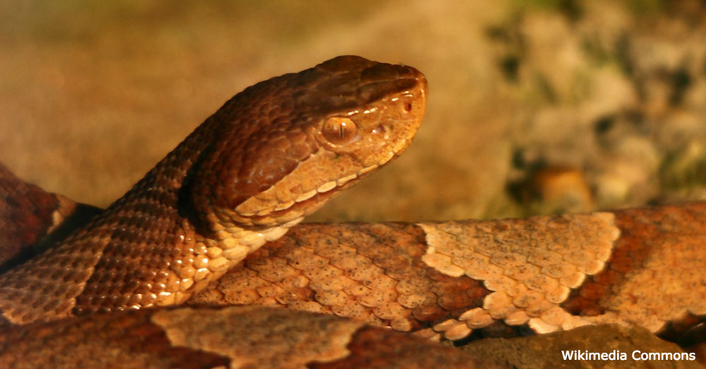 The Copperhead snake makes its nests throughout Eastern North America.