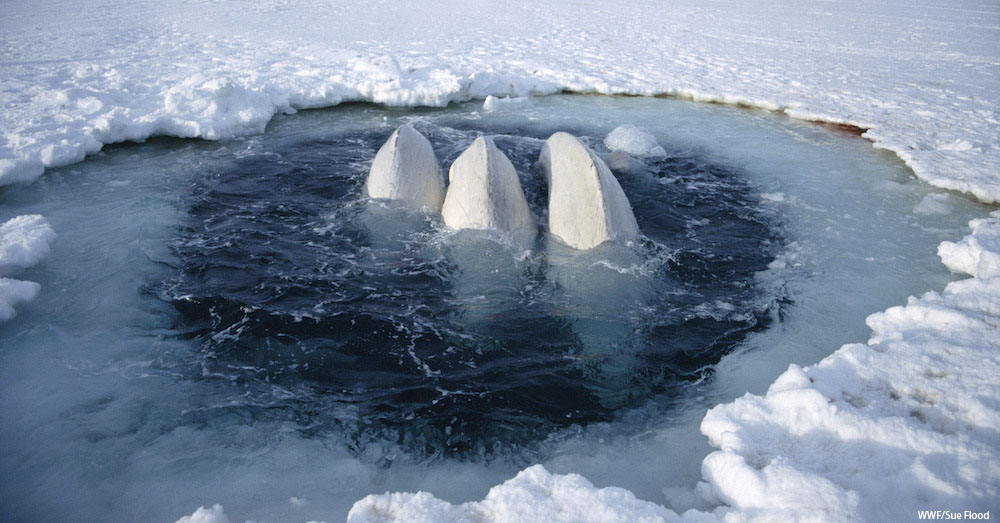 Beluga whales trapped at ice hole (Delphinapterus leucas) too far away to reach open sea, Canadian High Arctic. June 1999
