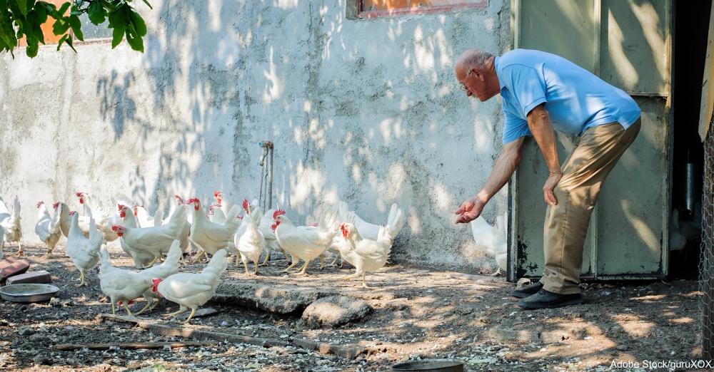 Farmer feeding big farm chickens