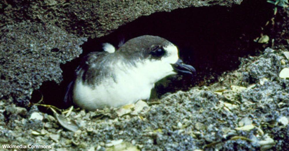 The endangered Hawaiian Petrel.