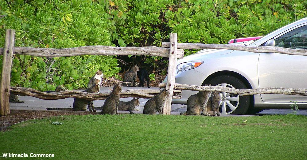 Feral cats in Hawai'i.