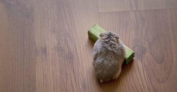 hamster0