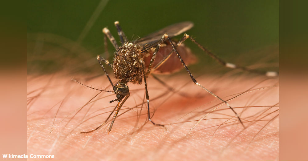 Common mosquitoes are more than just annoying pests.