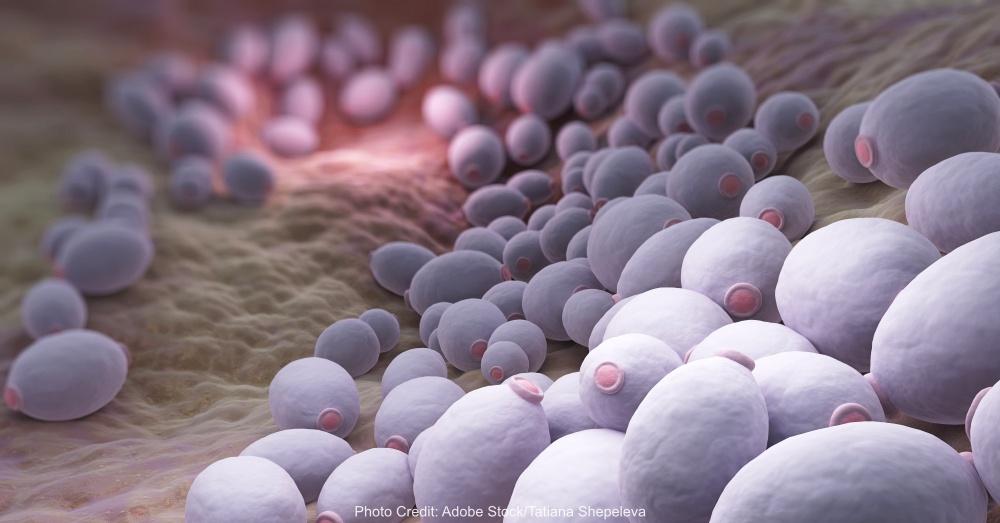 Candida albicans bacteria