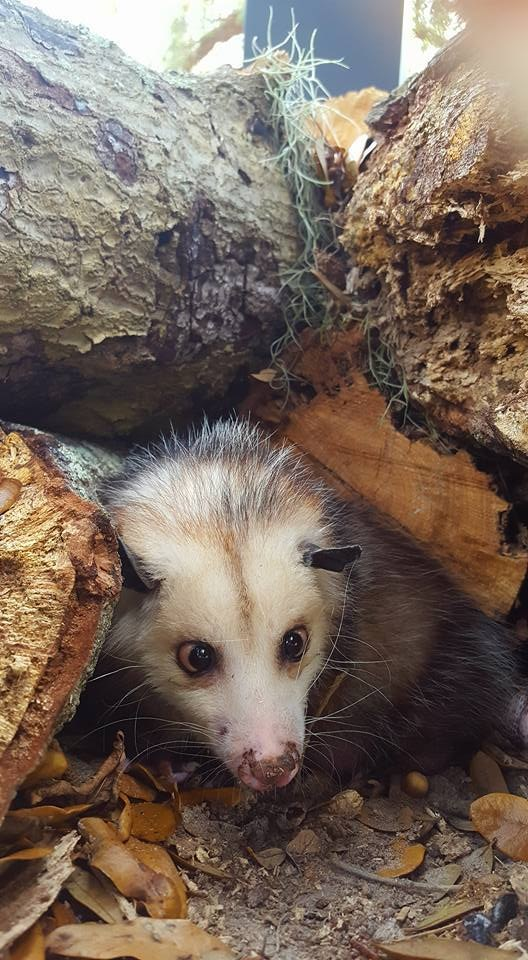 Facebook/Lucky The Opossum