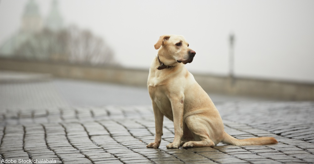 Yellow labrador retriever is waiting on the street
