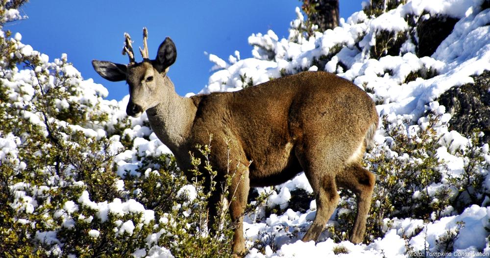 Endangered huemul deer