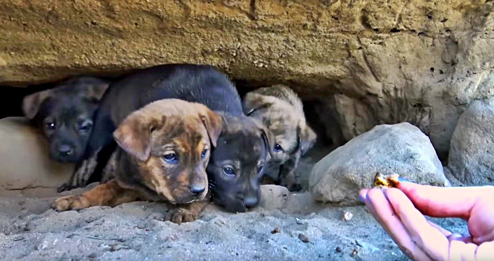 Nine Tiny Puppies Were Hiding Out Alone In A Cave Their Rescue Is