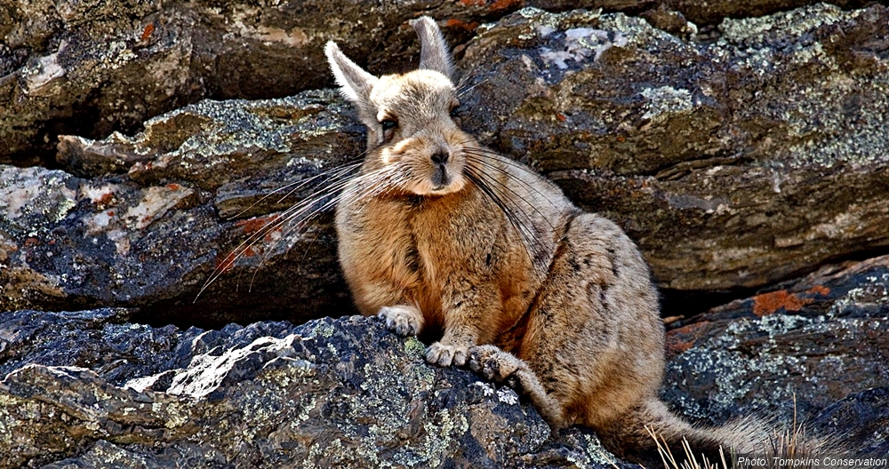 Mountain viscacha