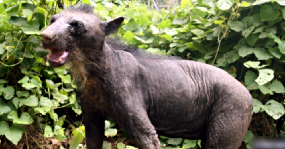 Animal Defenders International, The Dodo