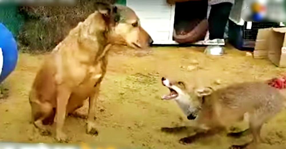 foxdog2